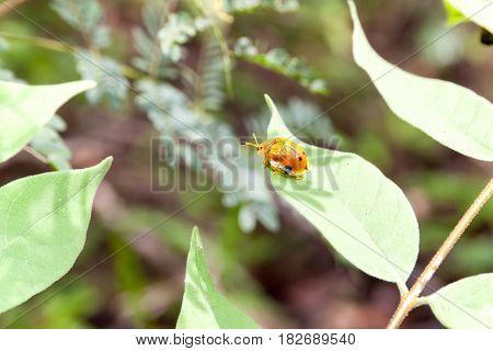 Ladybug on a leaf. An orange and black ladybug on a leaf.