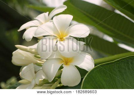 Plumeria on the plumeria tree frangipani tropical flowers.