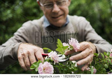 Senior man arranging the flower
