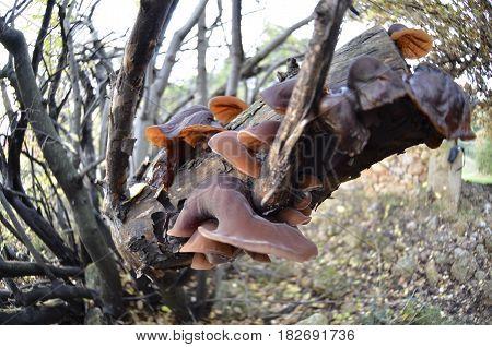 Auricularia auricula judae Jews ear in greece forest