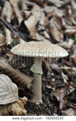 Eatable mushroom, Amanita rubescens, in the forest. Delicious edible mushroom - the blusher