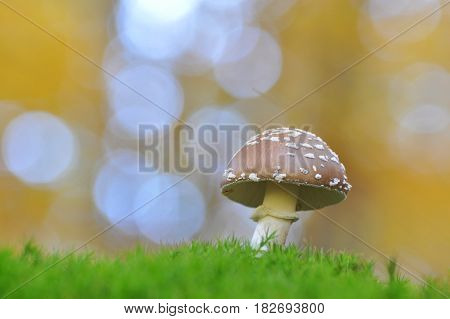 Young panther cap mushroom in the forest. (Amanita pantherina) Close up photo of a poisonous mushroom in the forest