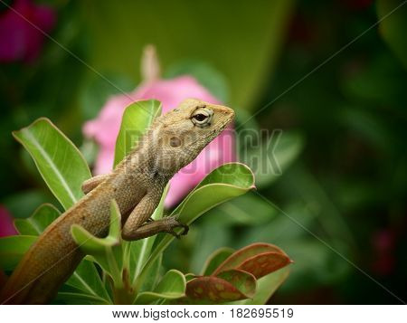 The chameleon is on a green branch. The back has pink flowers. The chameleon body shows a beautiful pattern.