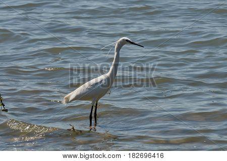 White Heron On Pond