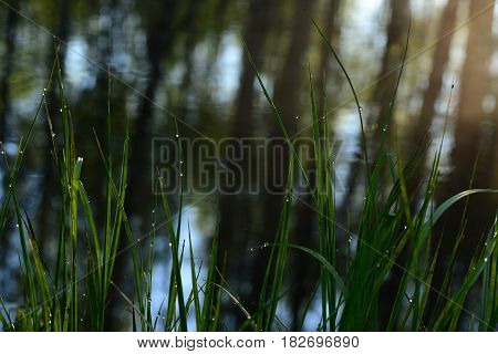 Grass in the morning dew on the riverbank at dawn