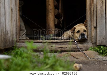 Sleepy sad dog is laying on his place chained