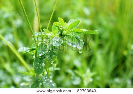 Closeup of alfalfa after the rain / freshness concept