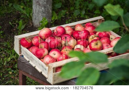 Fresh Ripe Beautiful Red Apples In A Wooden Box In A Garden. Summer Time Season.