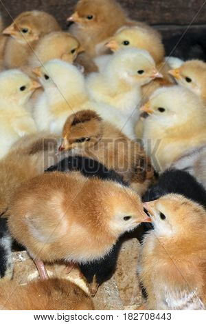 group of newly hatched domestic chicks - portrait