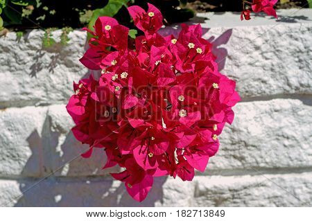 Bougainvillea branch with mauve flowers on brick wall painted on white