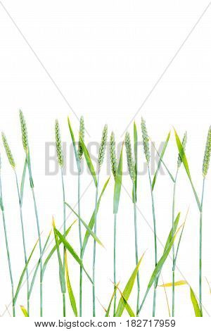 Line Of Green Wheat- Grain