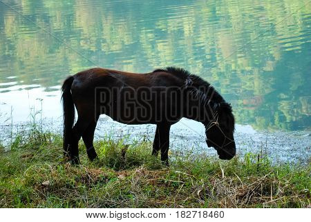 Dark brown Dwarf horse in a pasture near the river. eating grass