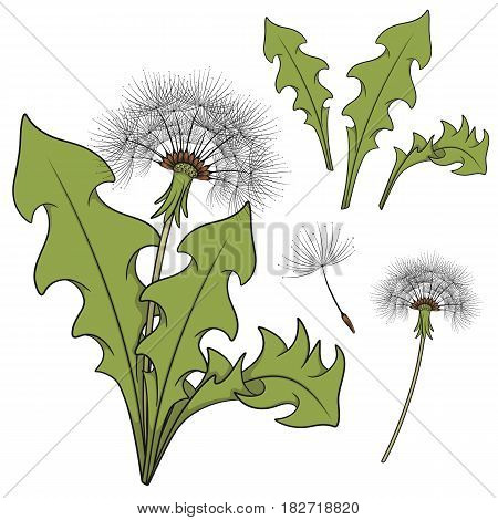 Set of color images with a dandelion. Isolated vector objects on white background.