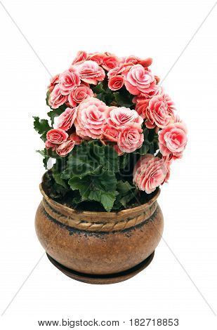 Nice flower Begonia in vintage clay pot isolated on white background with clipping path