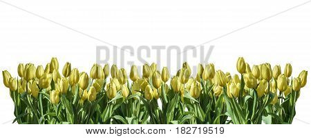 isolated yellow Tulip white background white space greeting textspace may flowers spring Happy Eastern