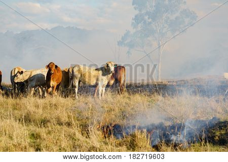 Australian cattle stand by a fire. Outback Queensland, Australia.
