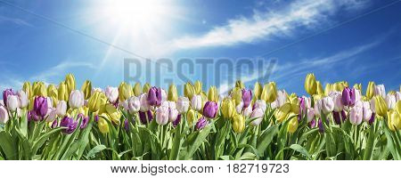 isolated yellow, white and pink Tulip sky background white space greeting textspace may flowers spring Happy Eastern