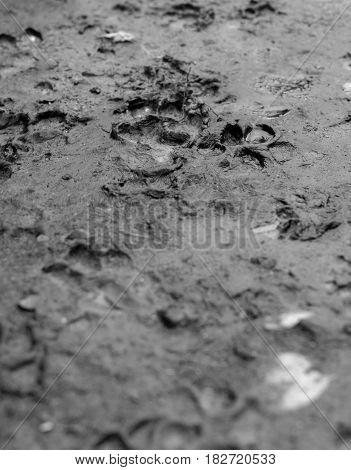BLACK AND WHITE PHOTO OF DOG TRACKS IN THE MUD