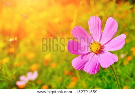 Pink cosmos summer flower - in Latin Cosmos Bipinnatus - in the summer meadow under warm sunny summer light - summer flower background. Focus at the summer flower. Summer flower landscape