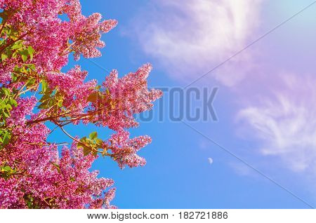 Spring flowers background - spring lilacs flowers in spring blossom against blue sky. Free space for text. Spring background with blooming spring lilac flowers - closeup of spring lilac flowers in the spring garden