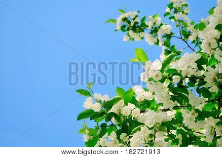 Spring flowers background. White apple flowers against blue sunny sky - spring natural flower background. Soft focus applied. Spring flowers of apple tree - spring flowers lanscape. Closeup of spring apple flowers