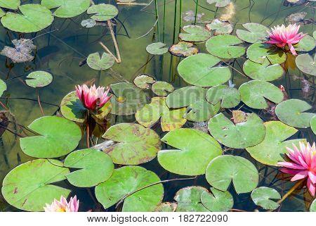 Waterlily in garden pond. Ariel Sharon Park stands on a waste dump site. Hiriya, Israel