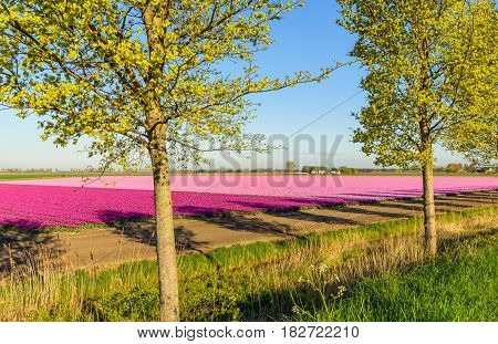 Two trees in front of violet and pink tulips blossoming on the field of a specialized Dutch grower. It is early in the morning of a sunny day in the beginning of the spring season in the Netherlands.