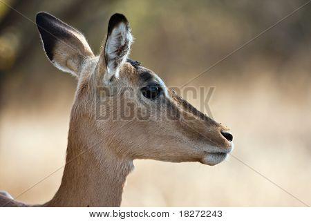 Impala doe