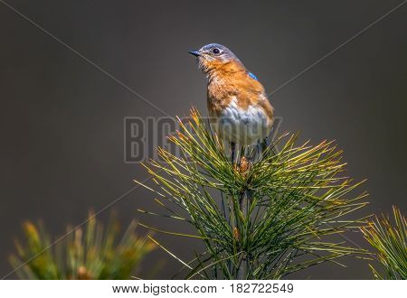 Eastern Bluebird on a pine tree catching the last golden sun rays of the day