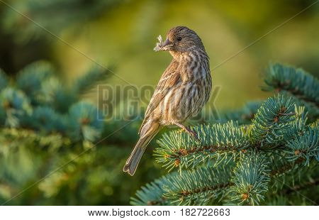 A house Finch taken in Cleveland, Ohio