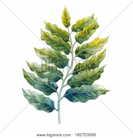 Watercolor ylang ylang branch. Hand painted leaves isolated on white background. Herbal medicine and aroma therapy