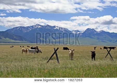 Cows Mountains Clouds