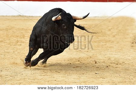 bull in the spanish bullring with big antlers