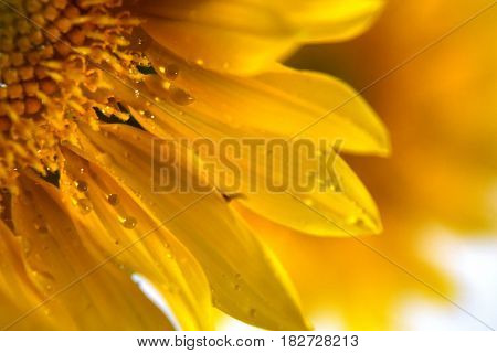 Golden yellow sunflowers blossoming at the peak of spring season