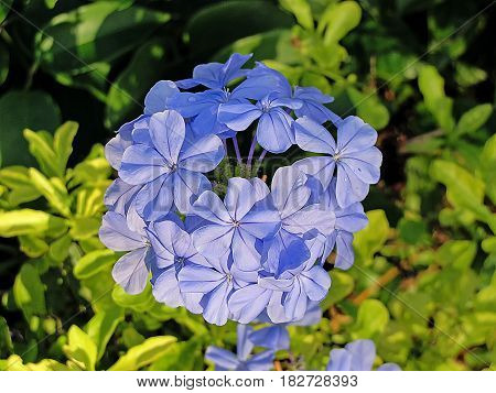 Close-up in of flowers of the bush Plumbago auriculata commonly known as: blue plumbago Cape plumbago or Cape leadwort