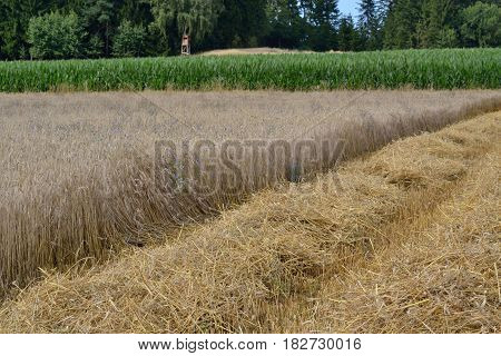 Grain field with cross from rye and wheat - harvest