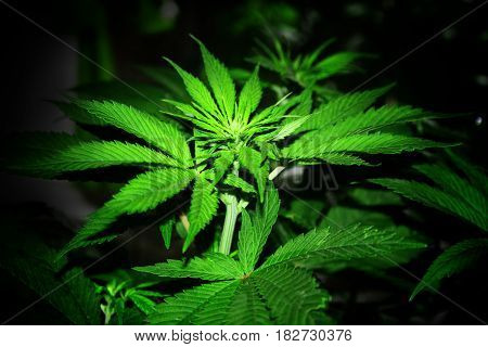 Cannabis Young Plant of Strong Sativa Strain