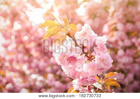 Spring Background With Flowering Japanese Oriental Cherry Sakura Blossom, Pink Buds With Soft Sunlig