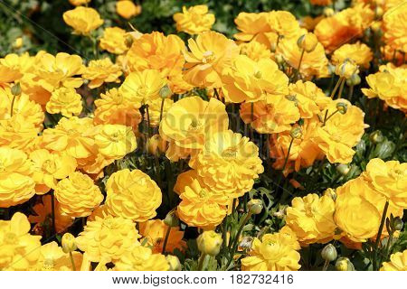 A many Yellow asian buttercups bright background