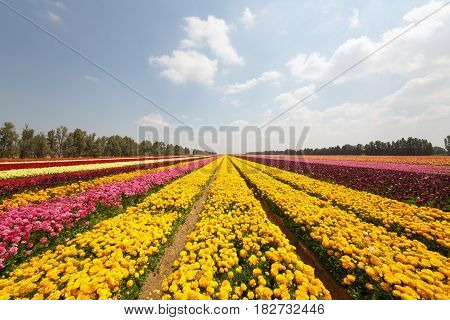 Yellow Stripes Of Asian Buttercups