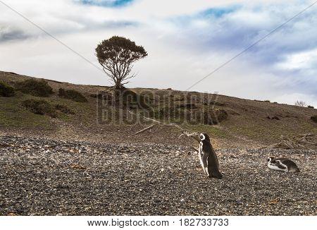 Penguin on a gravel beach in ushuaia argentina