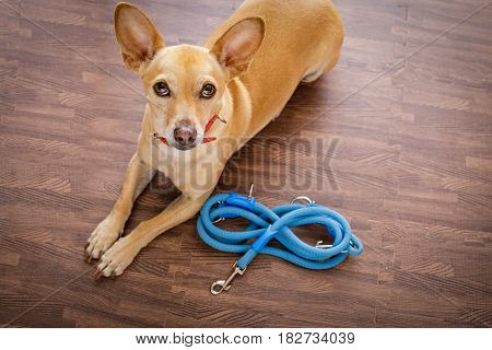 Dog   With Leash Waits For A Walk