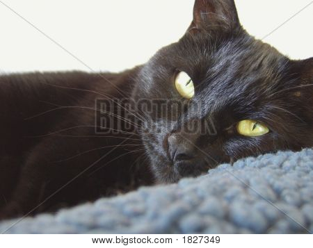 Black cat lying down with eyes open poster