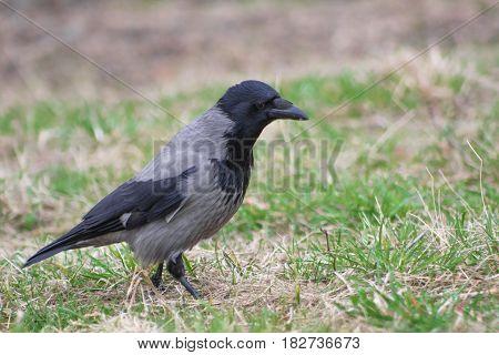 Crow On The Ground