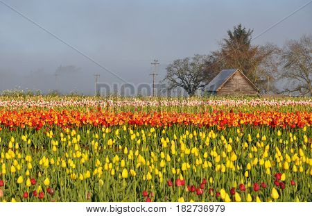 Tulips morning landscape with mist and old shed