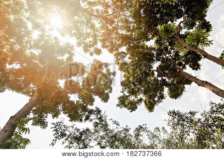 The Canopy Of Tall Trees Framing A Clear Blue Sky, With The Sun Shining Through