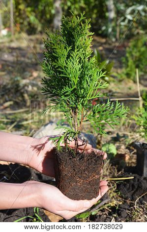Gardener Hands Planting Transplant Cypress tree Thuja with Roots