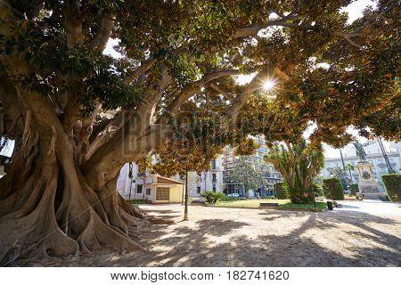 Valencia Parterre park big ficus tree in Spain
