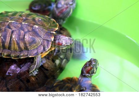 Decorative sea turtles in an open terrarium float in a plastic pond
