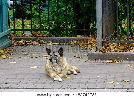 A brown dog lying on the road at city park. Lonely animal.
